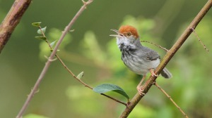 NewCambodianTailorbird
