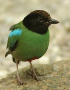 111-hooded-pitta-pitta-sordida-c2a9wikic