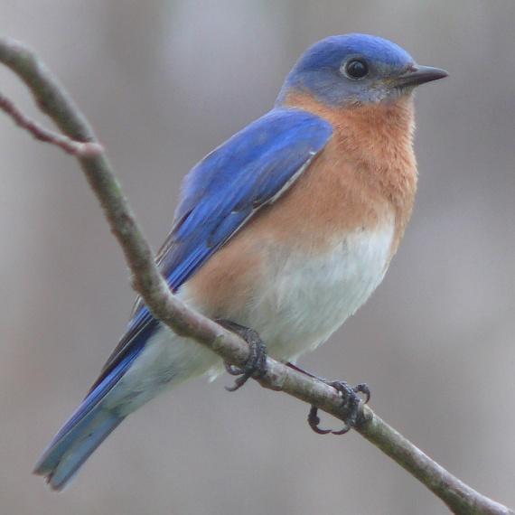 Eastern_Bluebird-27527-2