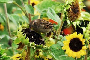Sparrow1c