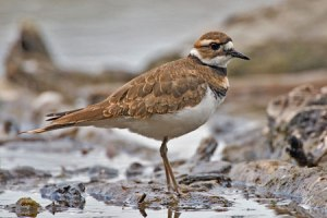 killdeer_2118np