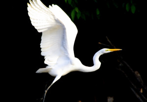 IMG_6626_Great_Egret
