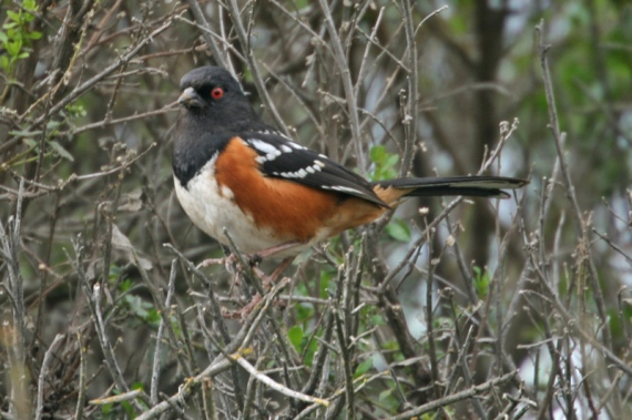 spotted-towhee1