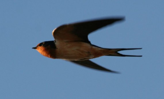 barn swallow in flight_Jim Ray's_5_2_06