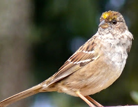 YellowCrownedSParrow