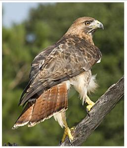 Red-Tailed-Hawk-back