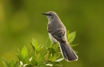 north_mockingbird_ryan_hagerty_fws