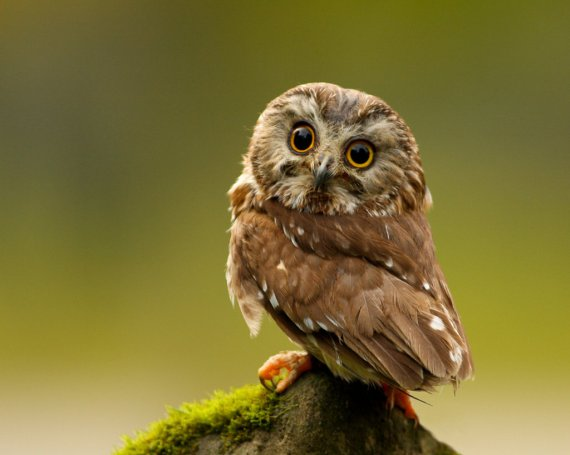 cute_little_owl_wallpaper__yvt2_by_smytheberry-d6wr1m9