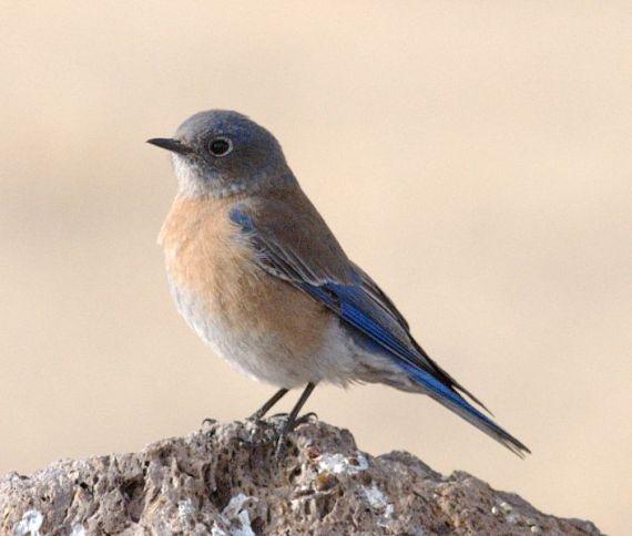 WesternBluebird(Female).jpg