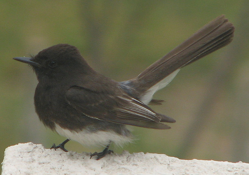 blackphoebe