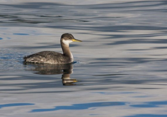 Non-BreedingRedNeckedGrebe