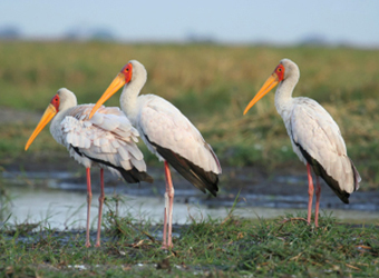 ThreeYellowBilledStorks