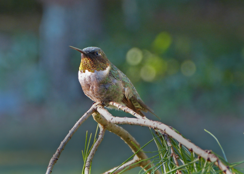 HummingbirdinaPineTree