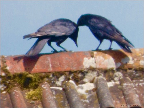 rooftopcrows (1)
