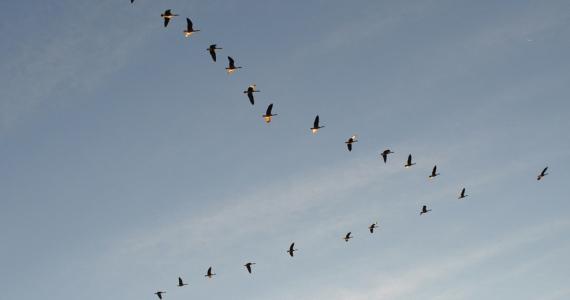 SeagullsinaVFormation