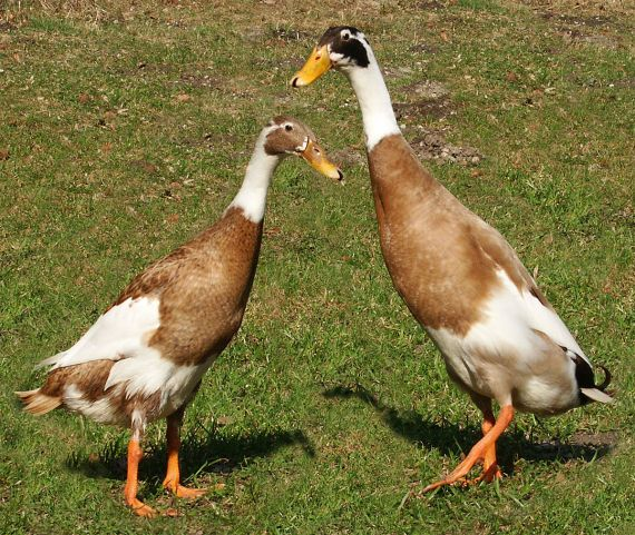 1200px-Runner-ducks
