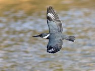 belted_kingfisher_6
