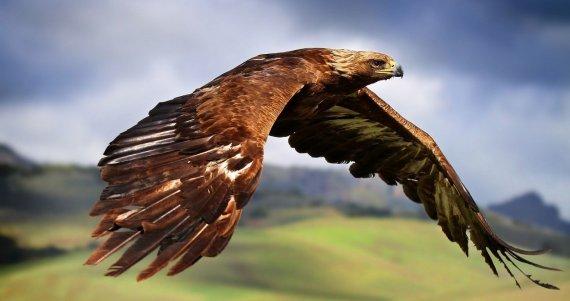 golden-eagle-in-flight