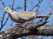 eurasian_collared_dove_5