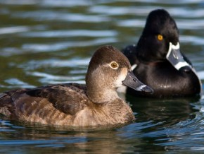 1 Ring Necked Ducks