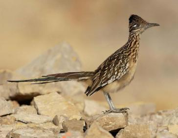 Greater Roadrunner2