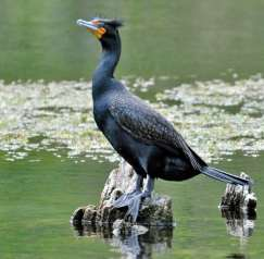 2840-double-crested-cormorant