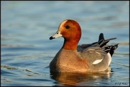 EurasianWidgeon