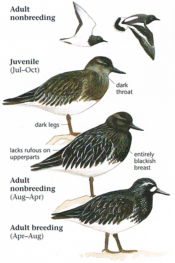 Black Turnstones (Breeding : Nonbreeding : Juvenile : Adult)