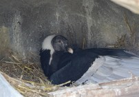 Lianni-on-Nest-National-Aviary-jpg