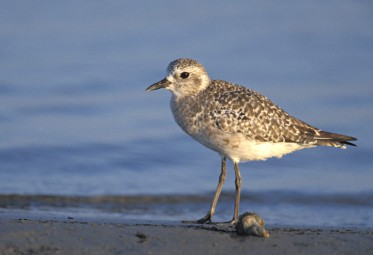 Black-bellied-Plover 2
