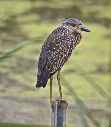 Immature Black Crowned Night Heron