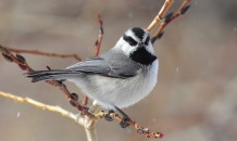 MountainChickadee