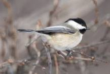 MountainChickadee2