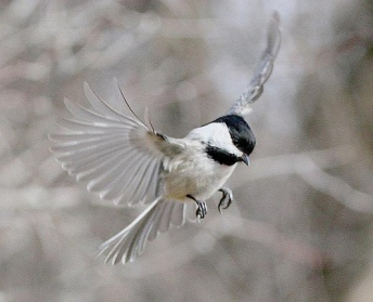 MountainChickadee4