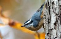 redbreastednuthatch1
