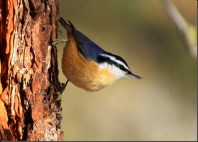 redbreastednuthatch2