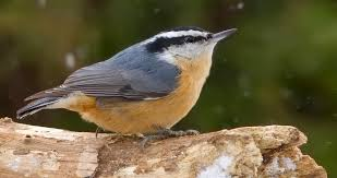RedbreastedNuthatch3