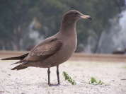 Heermann's Gull, juvenile 1st year (Doheney State Beach)