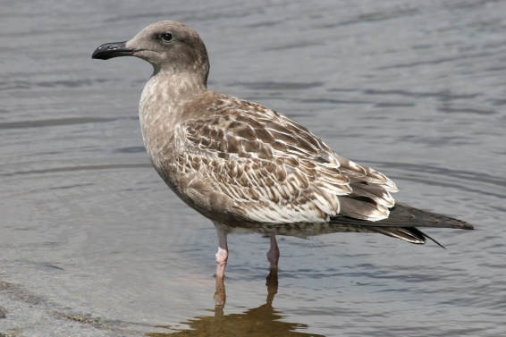 Western Gull, a juvenile (Dana Point, 9-07)