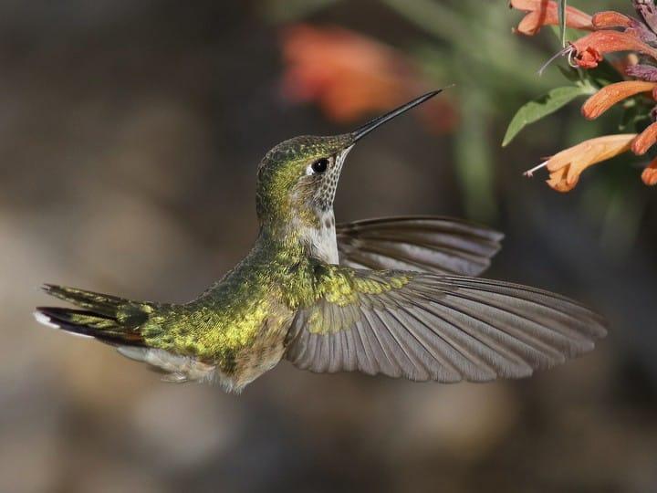 calliopehummingbird(female)