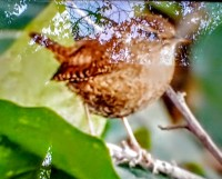 Wren - Photo by James Maley